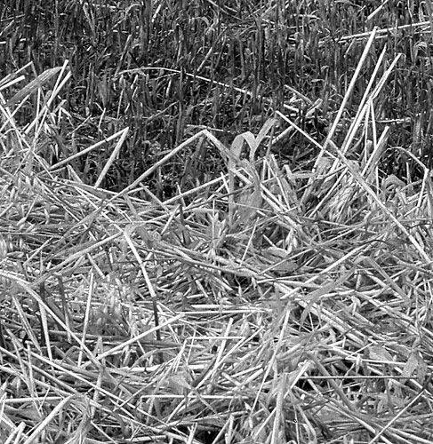 cut hay detail near