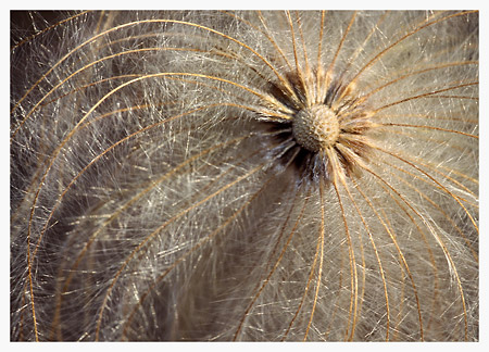 Wild Clematis Seed